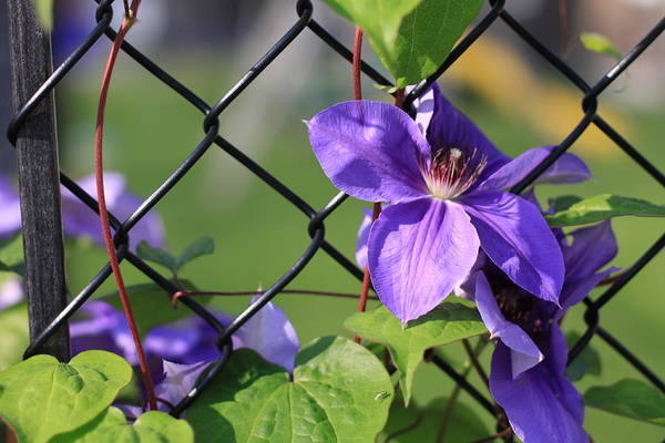 Photograph - Purple Flowers On A Fence by Tatiana Travelways
