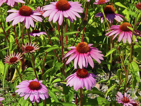 Photograph - Purple Flowers Pr4 by Monica C Stovall