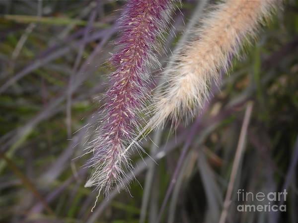 Pennisetum Photograph - Purple Fountain Grass by Ella Kaye Dickey