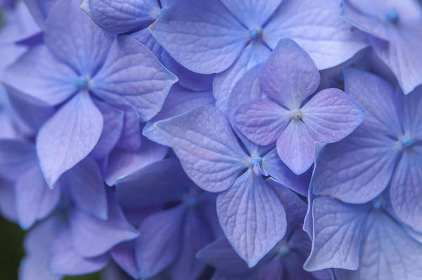 Photograph - Purple French Hydrangea Macro 1 by Jenny Rainbow
