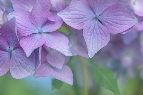 Photograph - Purple French Hydrangea Macro 2 by Jenny Rainbow