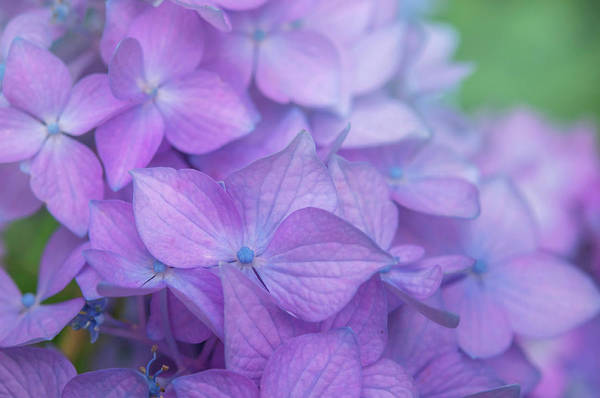 Photograph - Purple French Hydrangea Macro 3 by Jenny Rainbow