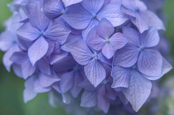 Photograph - Purple French Hydrangea Macro by Jenny Rainbow
