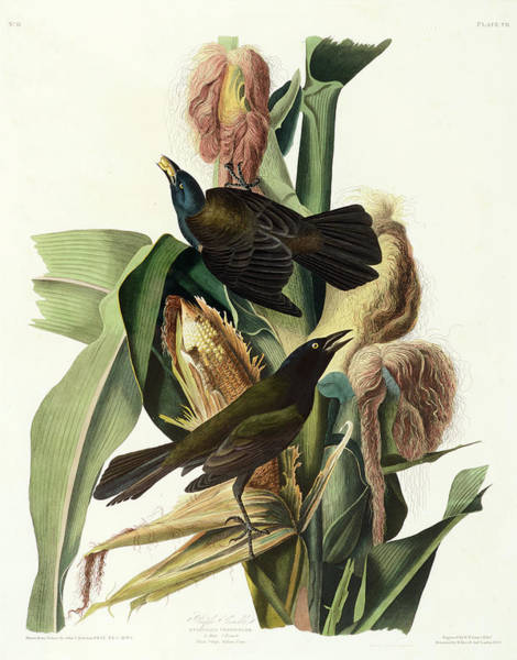 Wall Art - Painting - Purple Grackle by John James Audubon