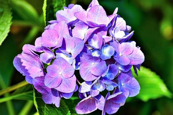 Wall Art - Photograph - Purple Hydrangea Beauty by Mary Ann Artz