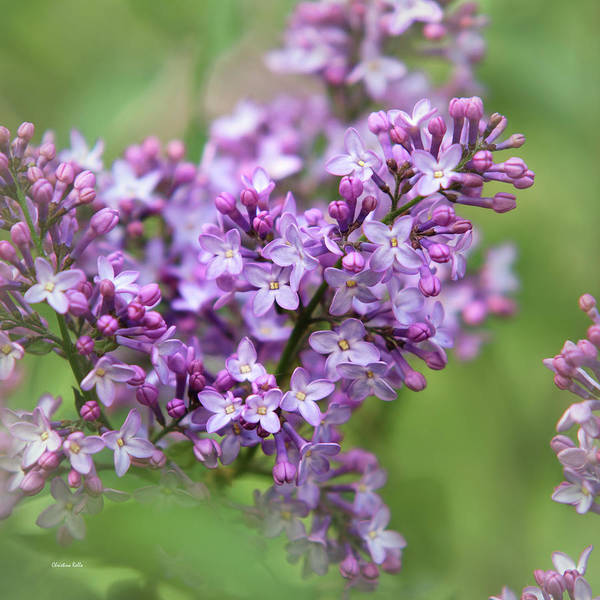 Photograph - Purple Lilac Flowers by Christina Rollo
