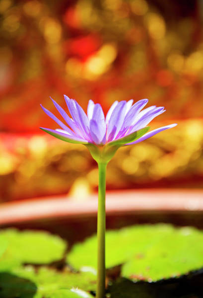 Wall Art - Photograph - Purple Lotus Flower At Temple by David Hannah