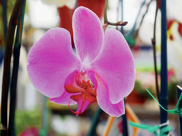 Wall Art - Photograph - Purple Orchid In Bloom, Close-up by Medioimages/photodisc