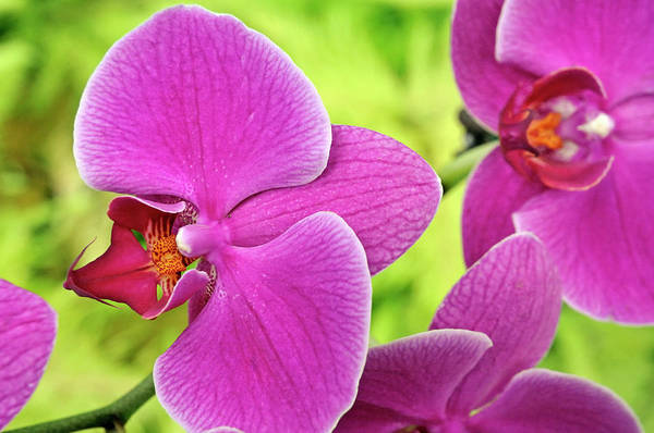 Wall Art - Photograph - Purple Orchids, Close-up by Sami Sarkis