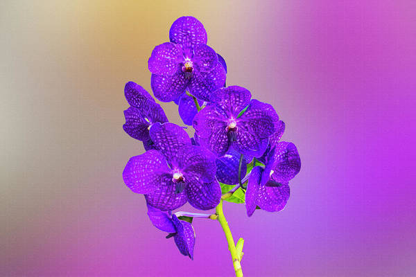 Digital Art - Purple Orchids Digital Painting by Eugene Norris