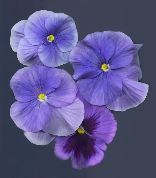 Wall Art - Photograph - Purple Pansies, Overhead View by John Grant