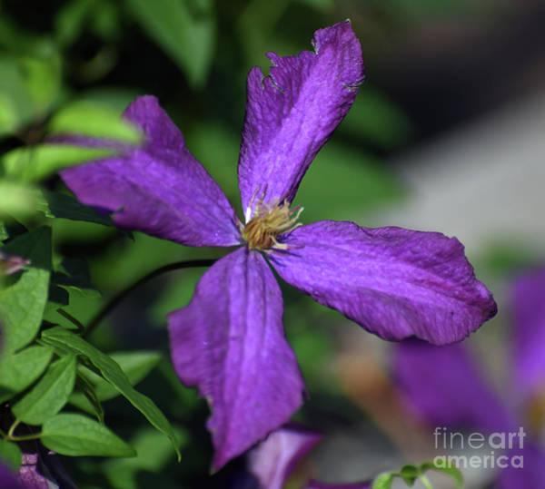 Photograph - Purple Petals - Clematis In Bloom by Kerri Farley