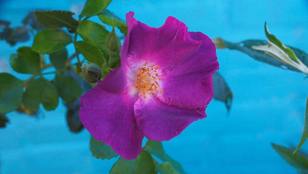 Photograph - Purple Pink Flower In The Garden by Eye to Eye Xperience
