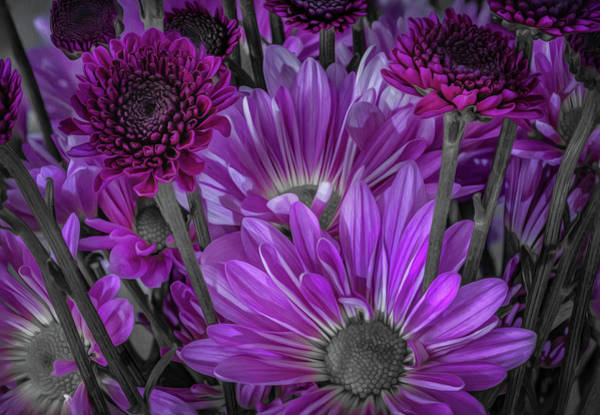 Photograph - Purple Power Chrysanthem Selective Colorum  by Keith Smith