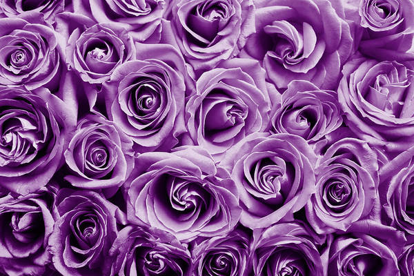Photograph - Purple Roses  by Top Wallpapers