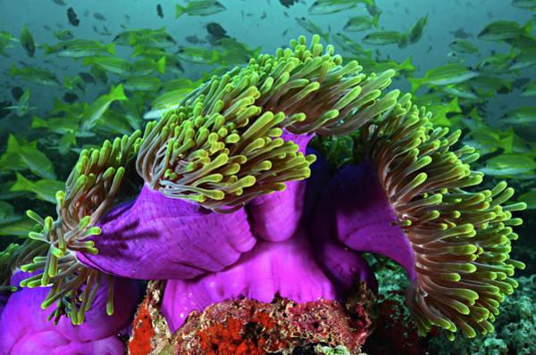 The Maldives Photograph - Purple Sea Anemone by Vania Kam