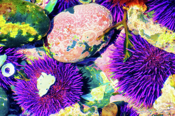 Photograph - Purple Sea Urchins  by Dee Browning