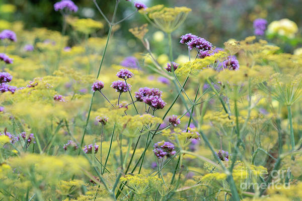 Photograph - Purple Top Vervain And Bronze Fennel by Tim Gainey