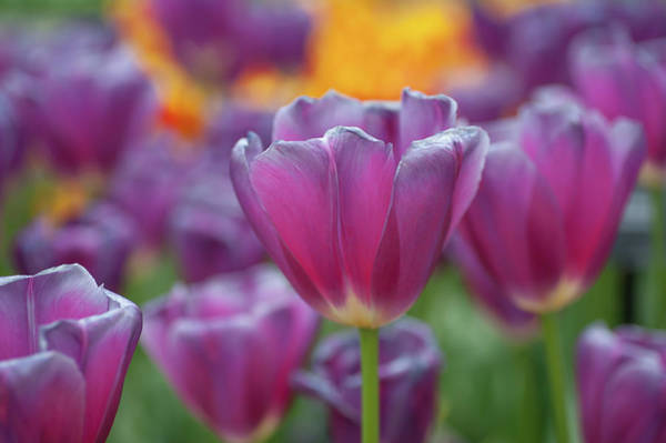 Photograph - Purple Triumph Tulipa Matangi by Jenny Rainbow