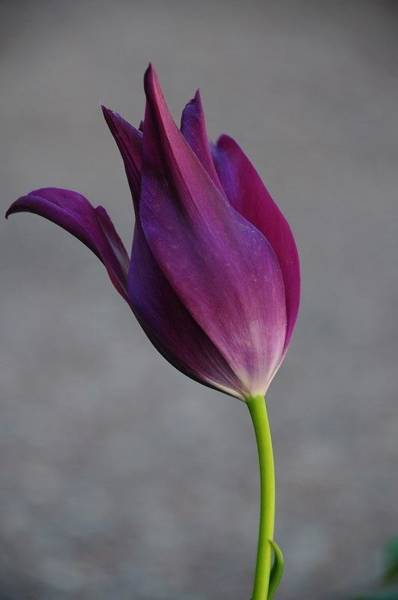 Photograph - Purple Tulip by Susie Rieple