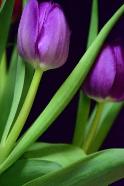 Wall Art - Photograph - Purple Tulips by Bonnie Bruno