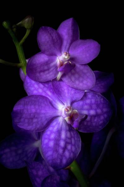 Photograph - Purple Vandas by Cyndy Doty