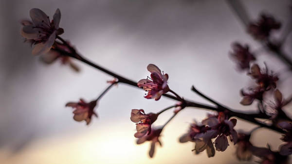 Photograph - Purpleleaf Sand Cherry At Sunset by Jeanette Fellows
