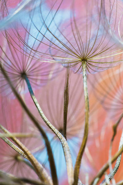 Wall Art - Photograph - Puzzle Dandelions by Iris Greenwell