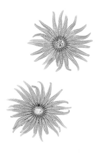 Photograph - Pycnopodia Helianthoides by Nick Veasey