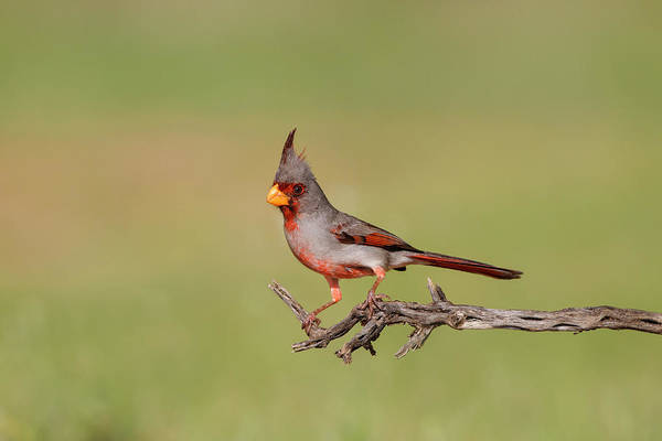 Cardinalis Photograph - Pyrrhuloxia Adult Perched by Larry Ditto
