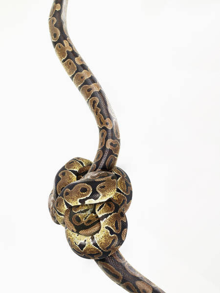 Photograph - Python Tied Up In A Knot by Michael Blann