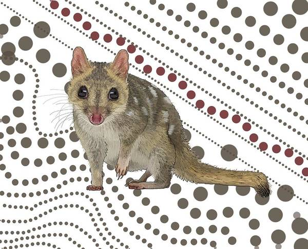 Carnivorous Drawing - Q Is For Quoll by Joan Stratton