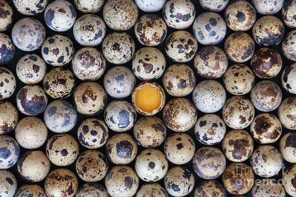 Birds Eggs Photograph - Quail Eggs by Tim Gainey