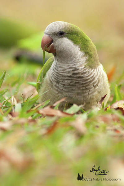 Photograph - Quaker Parrot #3 by David Cutts