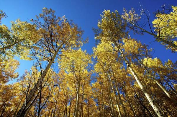 Aspen Photograph - Quaking Aspens In Autumn by Zachery T Jensen (ztj@me.com)