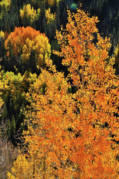 Photograph - Quaking Aspens In Bright Sunlight by Ray Mathis