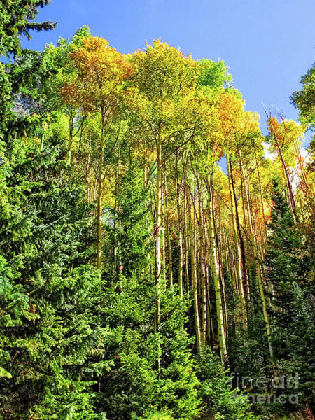 Photograph - Quaking Aspens by Susan Warren