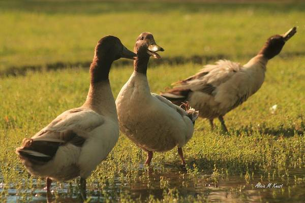 Wall Art - Photograph - Quacking Together by Alicia Knust