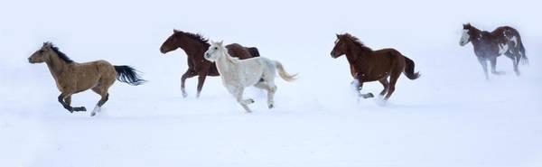 Wall Art - Photograph - Quarter Horses Running Snowy Fields by Darrell Gulin