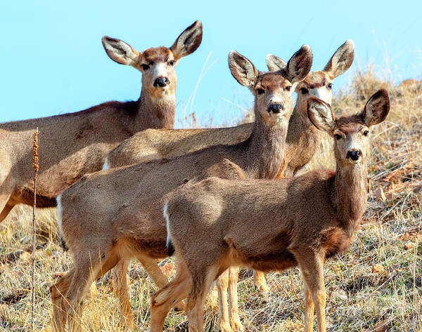 Photograph - Quartet Of Mule Deer In The Rocky Mountain Springtime by Steve Krull