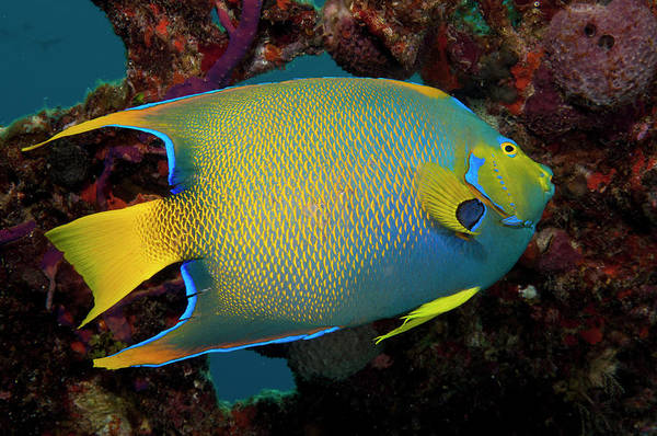 Turks And Caicos Islands Wall Art - Photograph - Queen Angel Angelfish, Turks And Caicos by Dickson Images