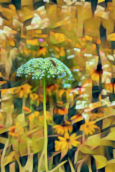 Photograph - Queen Anne's Lace In Golds by Debra and Dave Vanderlaan