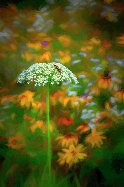 Photograph - Queen Anne's Lace Painting by Debra and Dave Vanderlaan