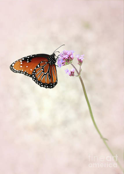 Photograph - Queen Butterfly In The Pink by Sabrina L Ryan