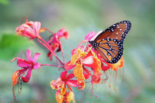 Wall Art - Photograph - Queen Butterfly On Mexican Bird Of Paradise  by Saija Lehtonen