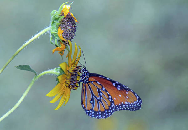 Photograph - Queen Butterfly On Sunflower 3736-100918 by Tam Ryan