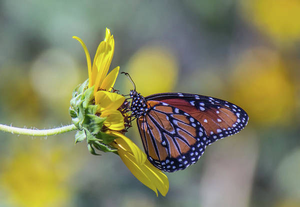 Photograph - Queen Butterfly On Sunflower 3745-100918 by Tam Ryan