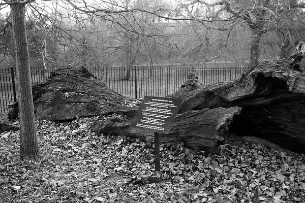 Royal Oak Photograph - Queen Elizabeth's Oak, Greenwich Park, London by Aidan Moran