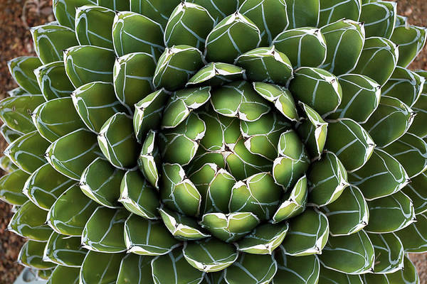 Ornamental Grass Photograph - Queen Victoria's Agave by Gh01
