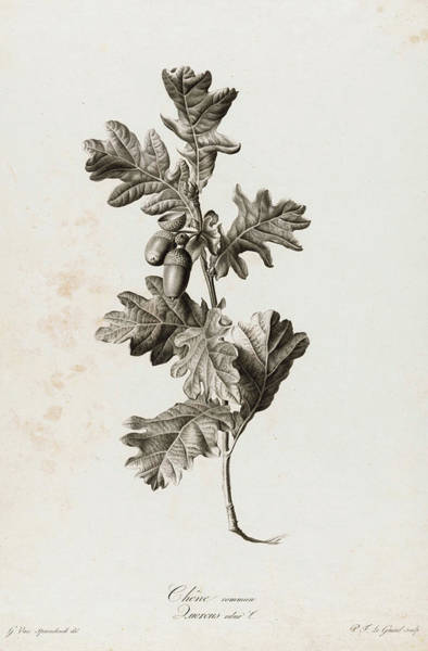Wall Art - Painting - Quercus Robur, 1801 by Pierre Francois Legrand